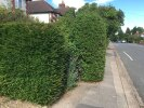 Overgrown hedge obstructs pavement
